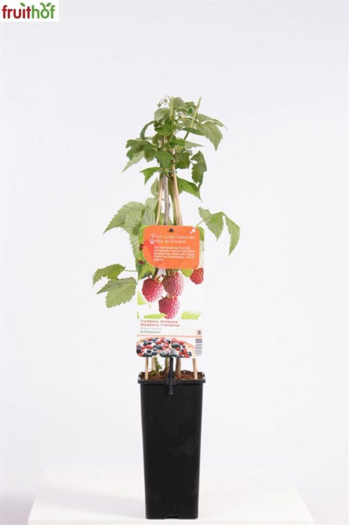 frambozenplanten